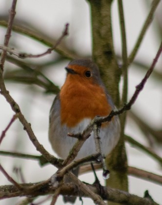 14. Robin