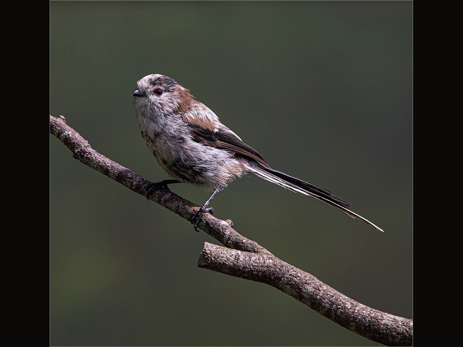 15. Long-tailed Tit