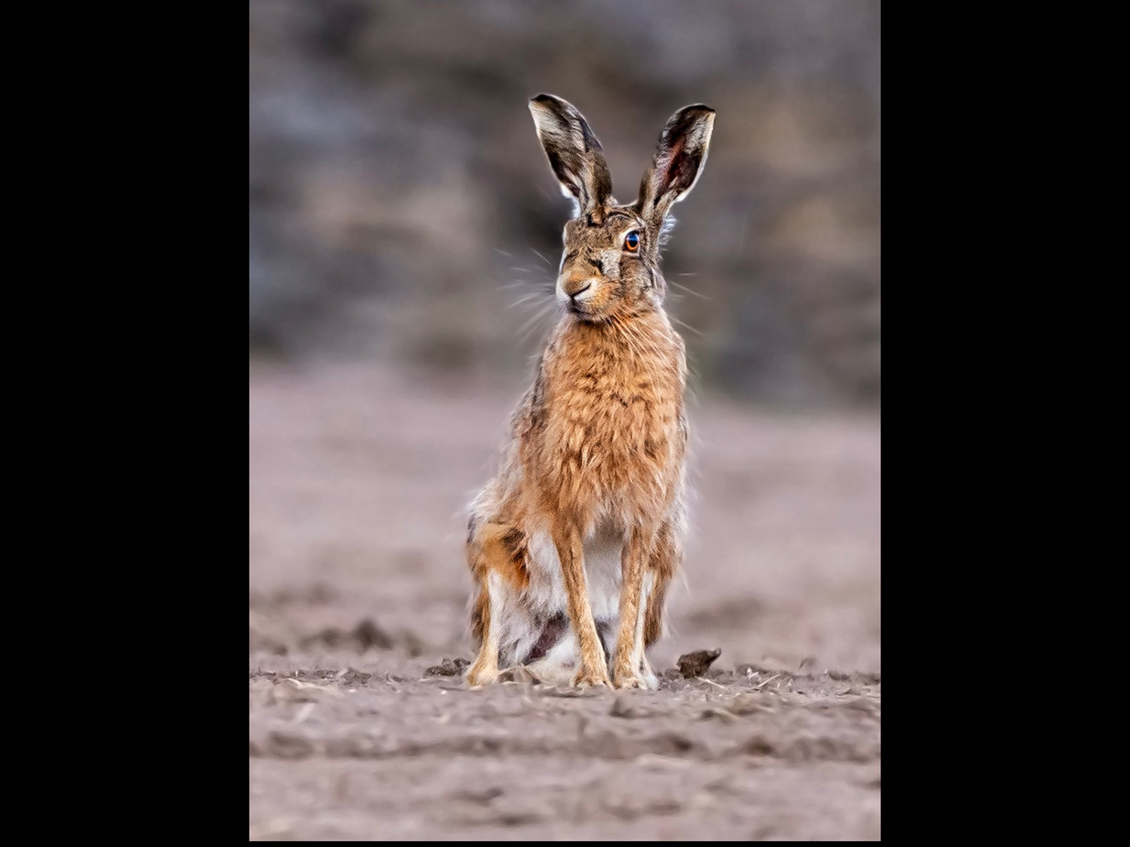 Brown Hare   Andy Pritchard    15