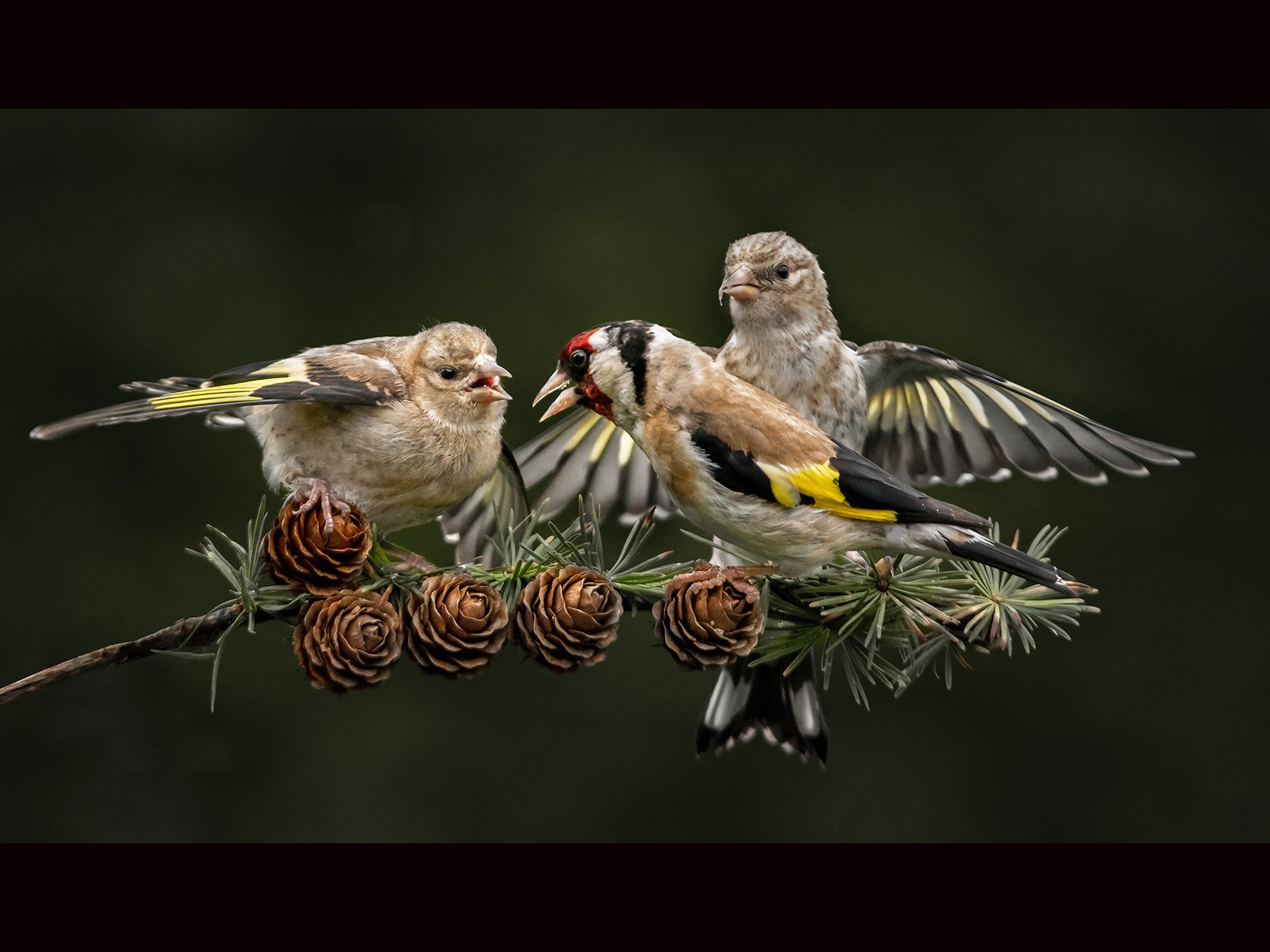 Goldfinch with two fledgelings Bill Smith   17