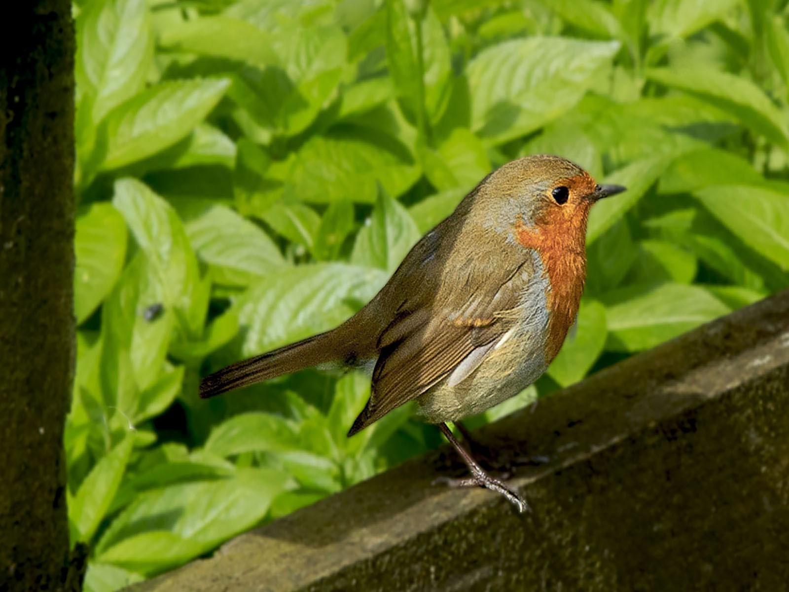 5. Robin Red Breast