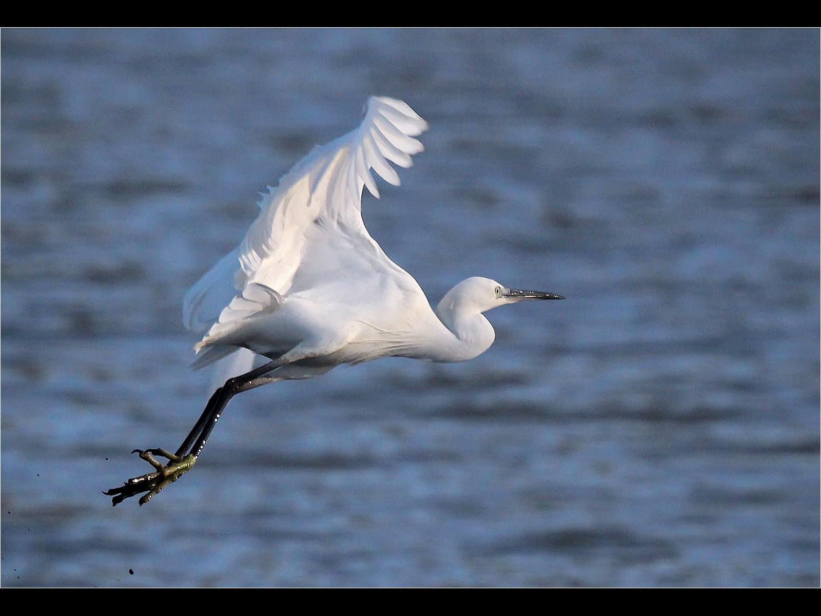 12. Little Egret