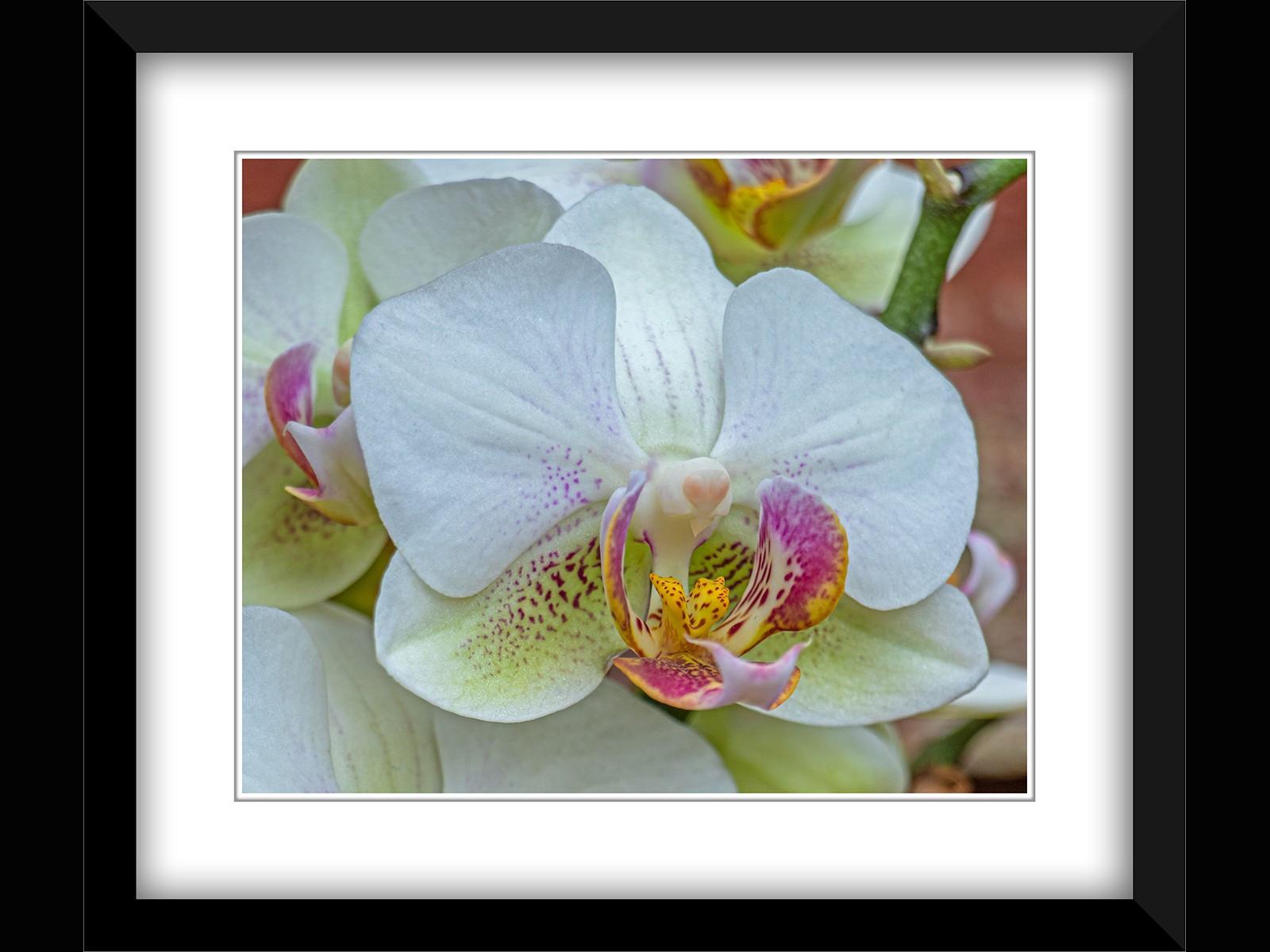 14. Phalaenopsis (moth orchid)