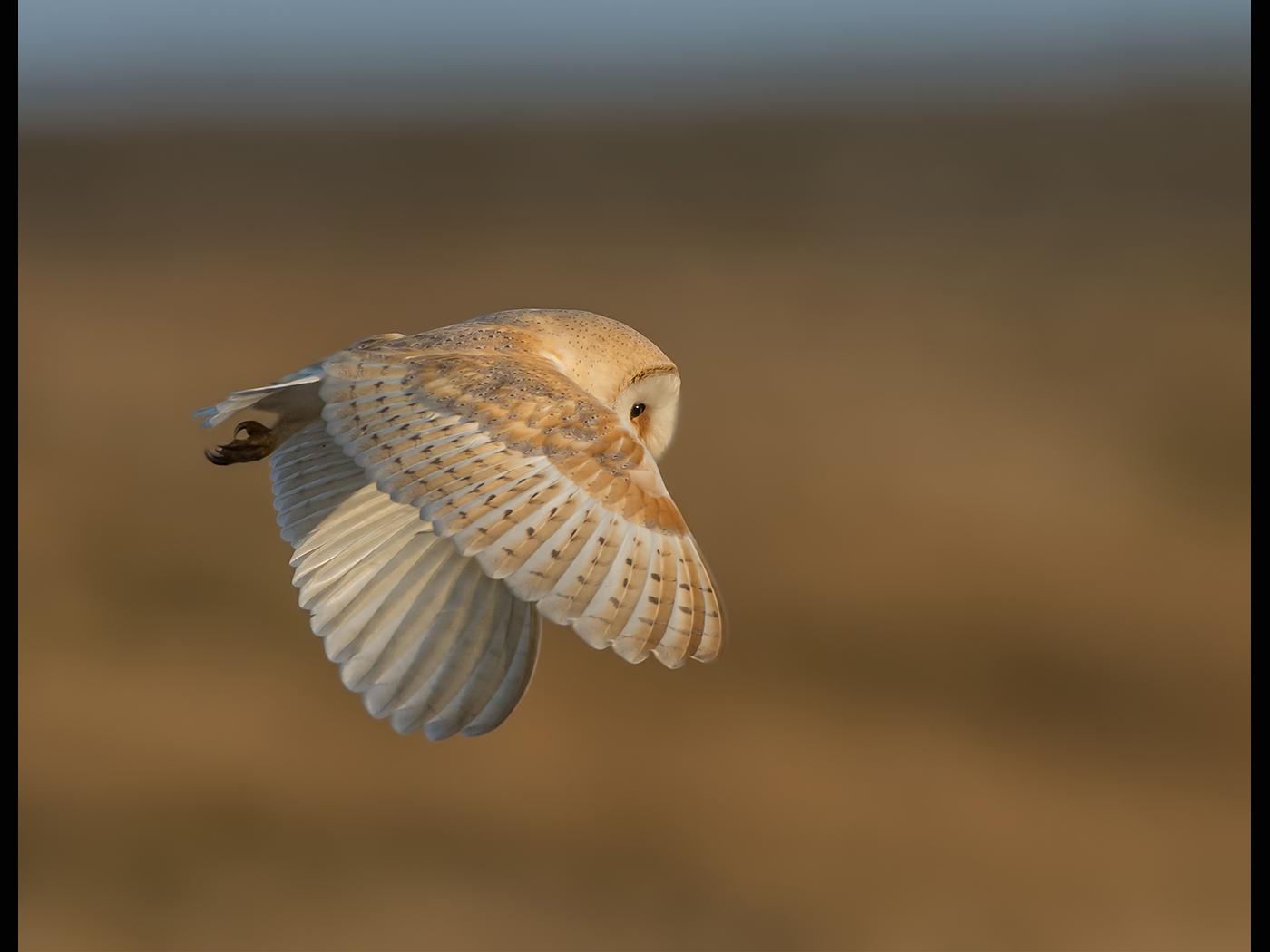 Barn Owl Tyto alba( Wild)
