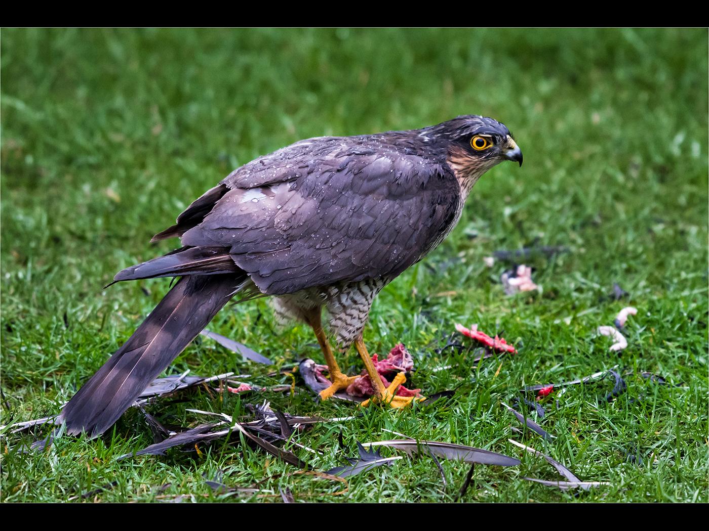 Sparrow Hawk with prey in the rain