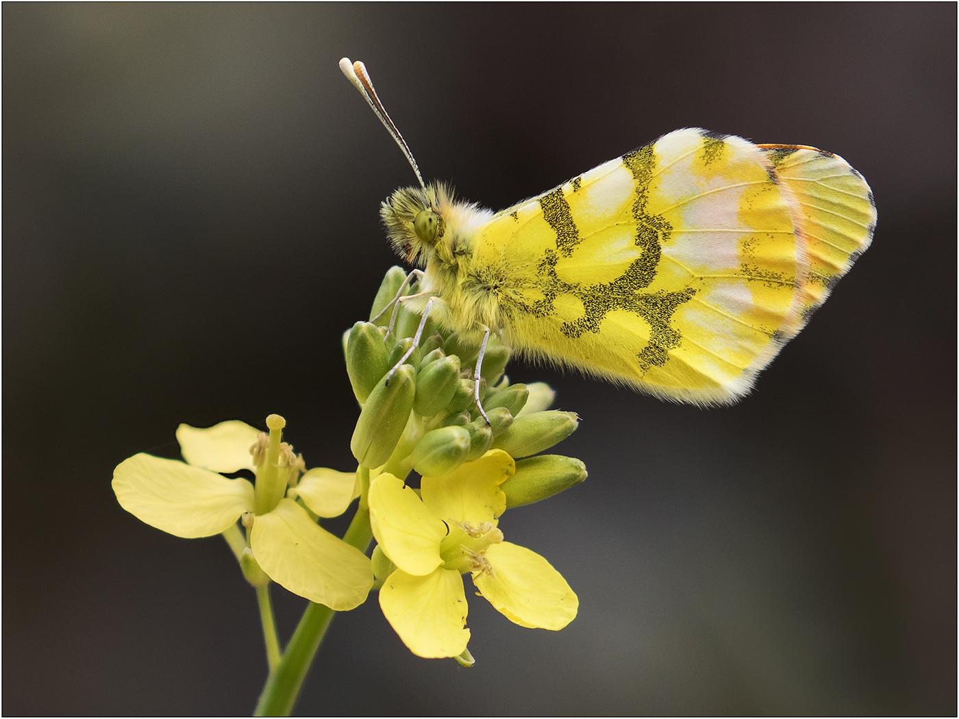 Morrocan Orange Tip Butterfly