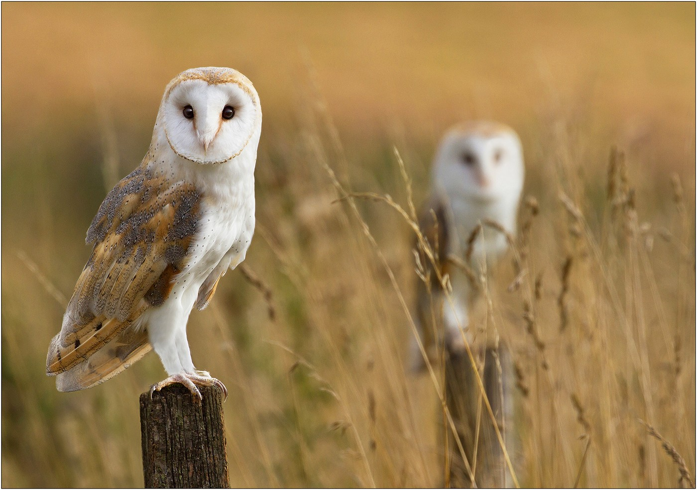 Barn Owls in the Hedgerow
