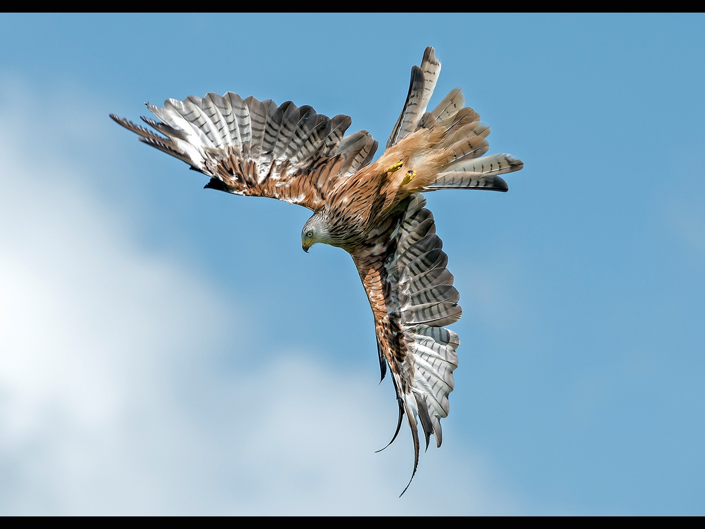 Red Kite Rolling into the Dive