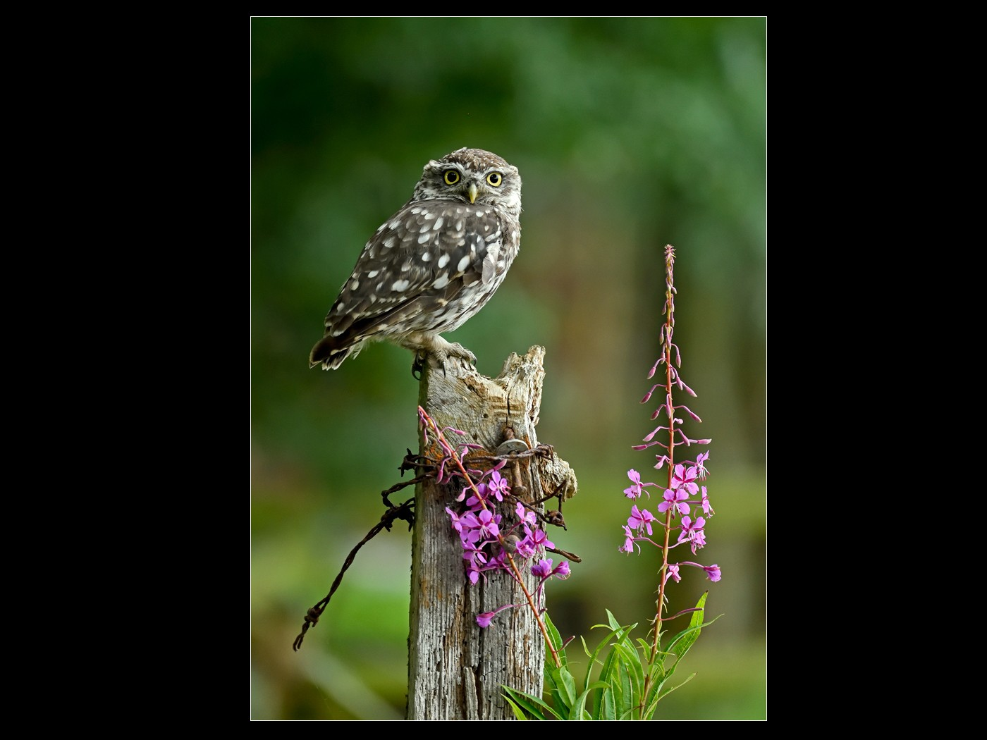Wild Little Owl