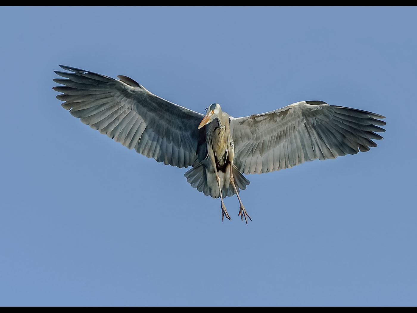 Grey Heron Incoming