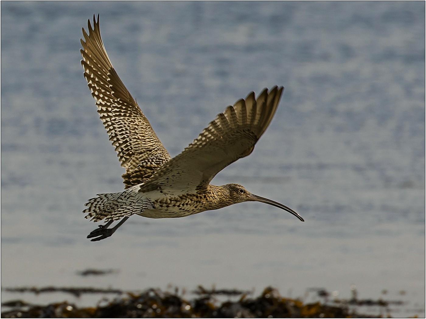 Curlew on Seashore