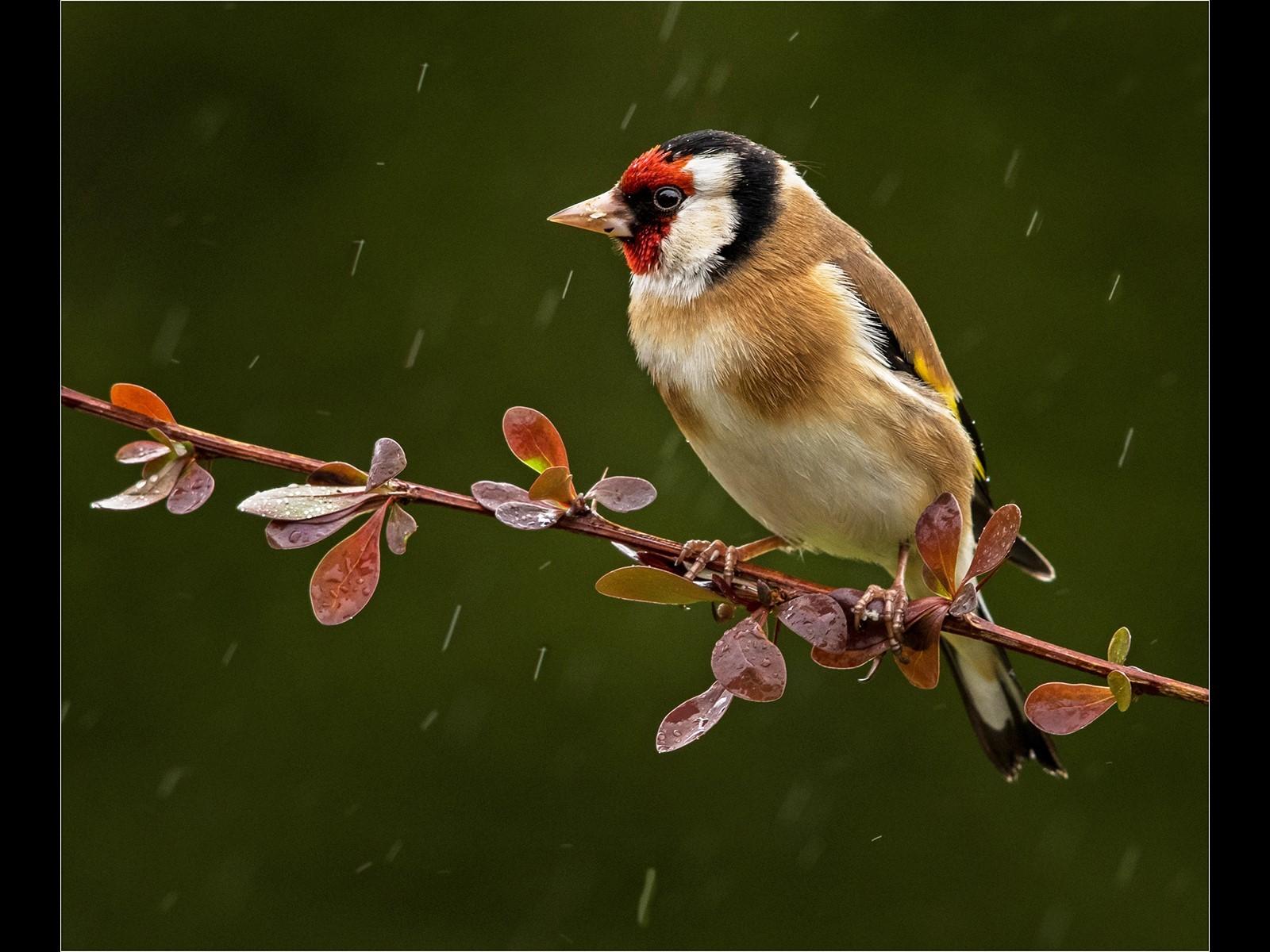 Goldfinch on Berberis in the rain