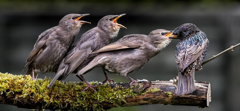 Staling Feeding three Young