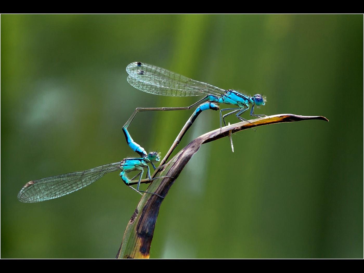 Blue Tailed Damselflies Mating