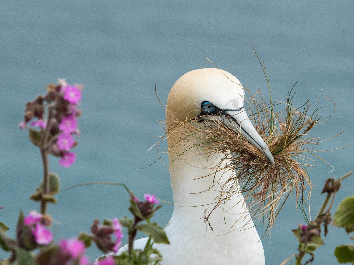 Gannet collecting nesting materials