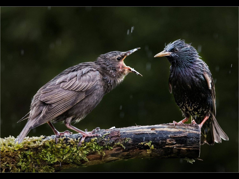 More !   Starlings