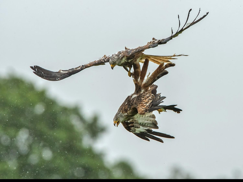 Red Kite (milvus milvus) fight in the rain