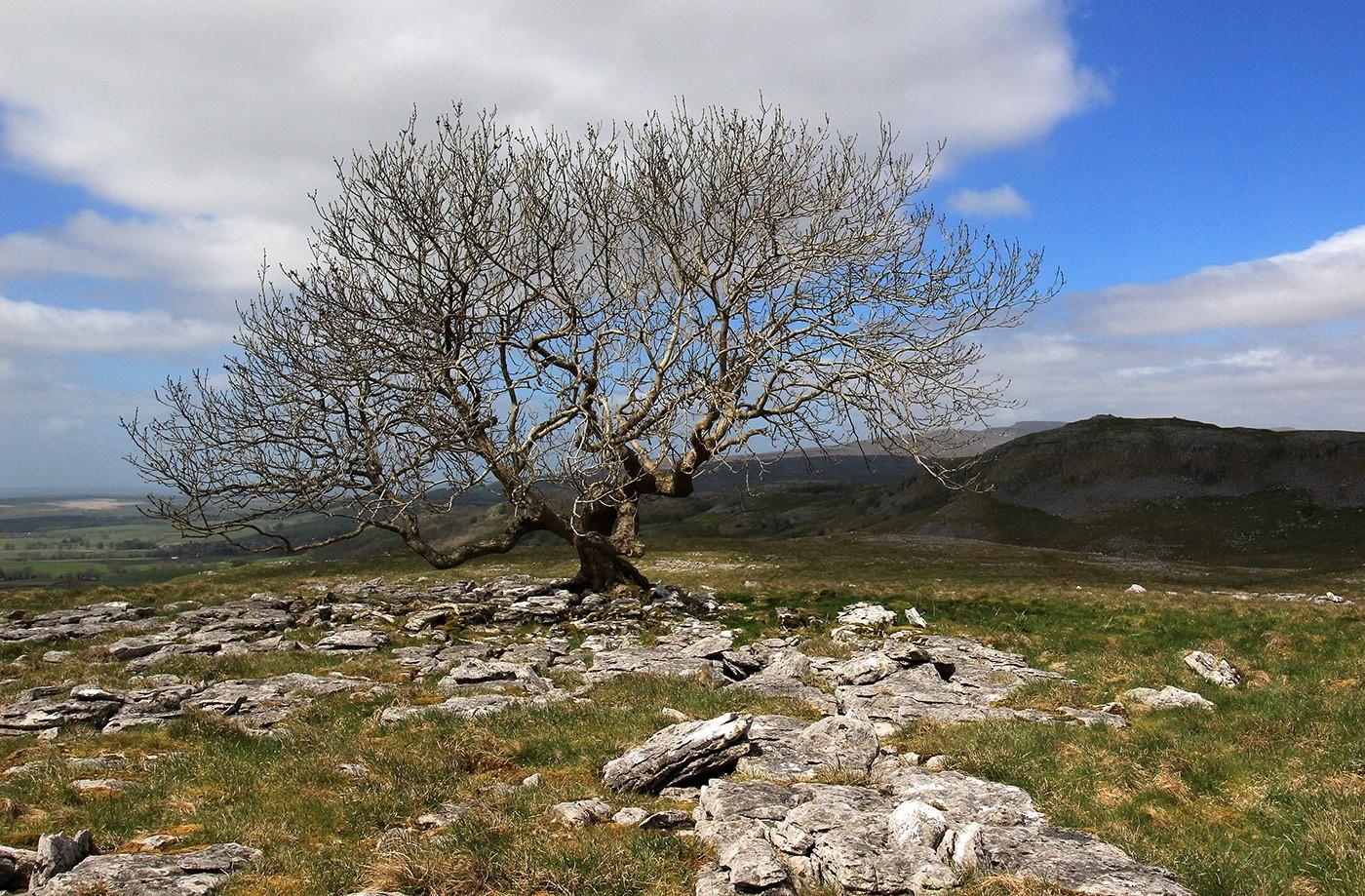 Lone Tree on Limestone