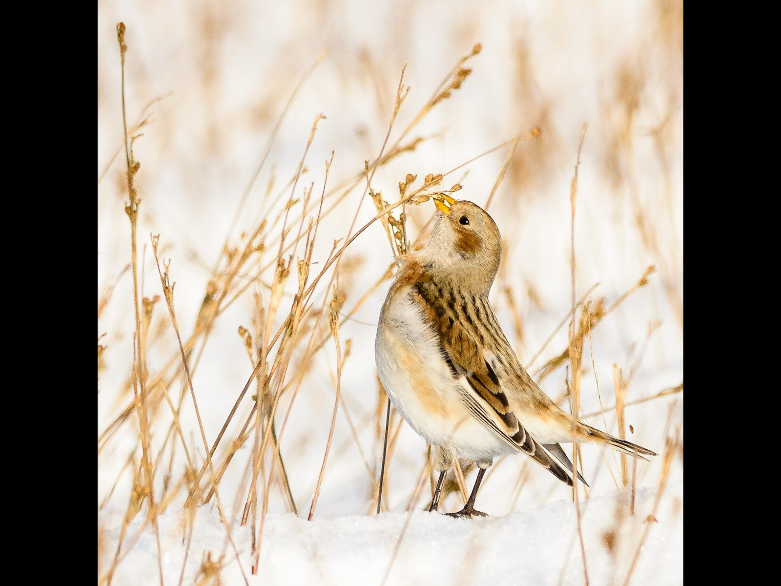 Snow Bunting Picking Seeds on Pendle Hill