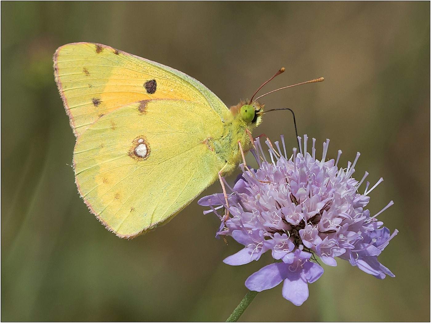 Clouded Yellow Butterfly on Scabious
