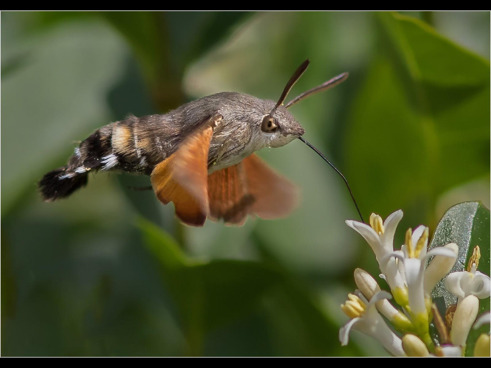 Hummingbird Hawkmoth_001