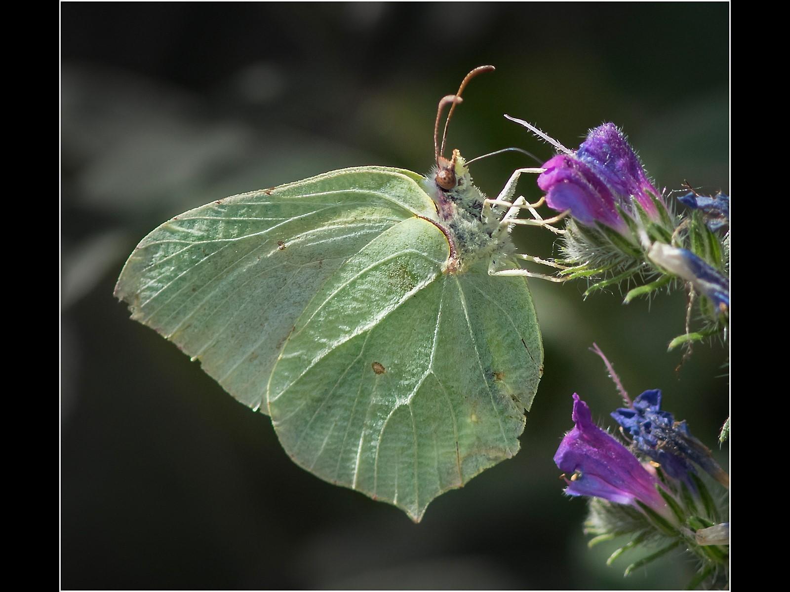 Brimstone Butterfly Feeding on Wild Flower