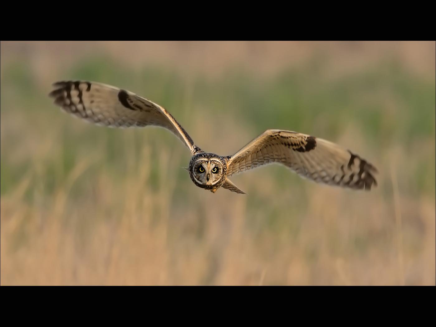 Asio Flammeus(Short Eared Owl)