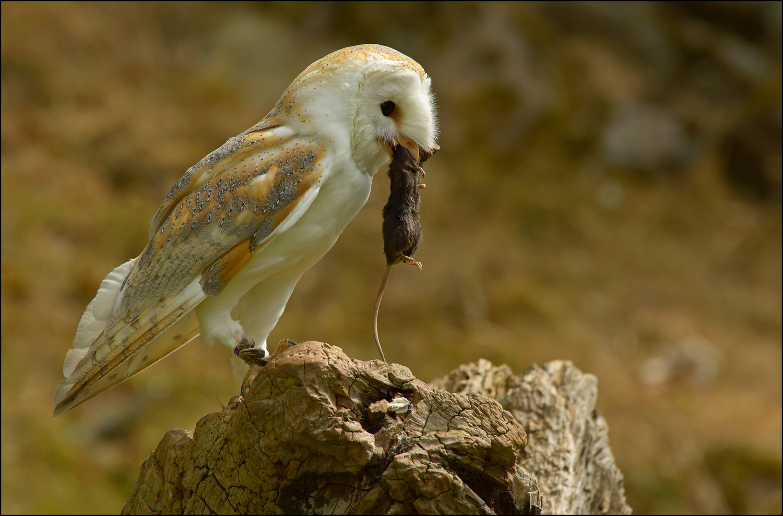 Barn Owl with Prey