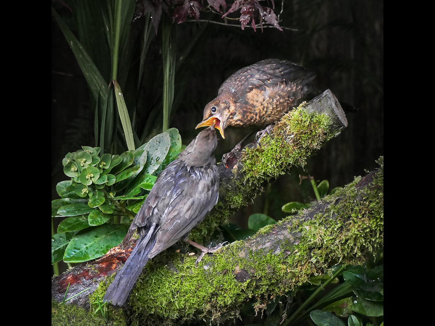 Blackbird feeding young