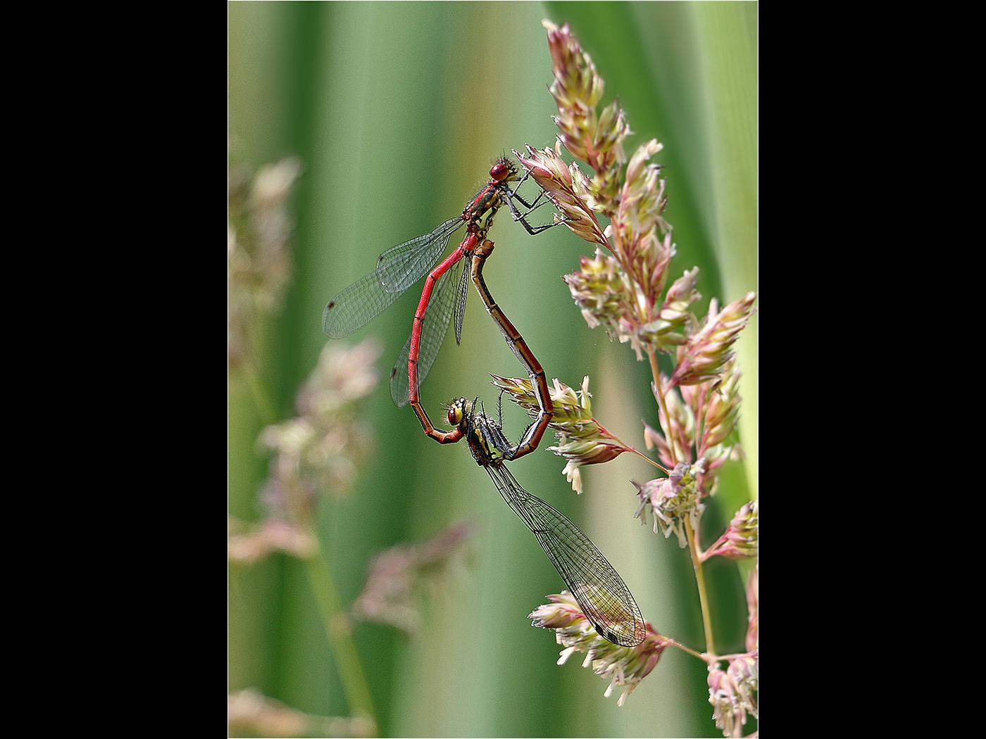 Common Red Damselflies Mating