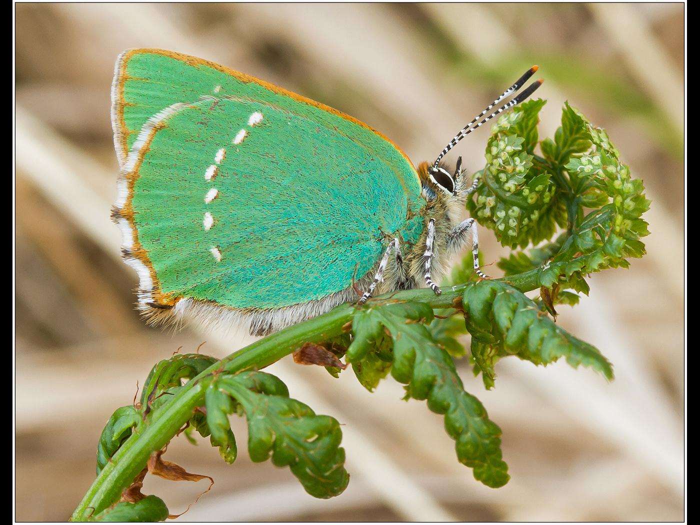 Green Streak Butterfly