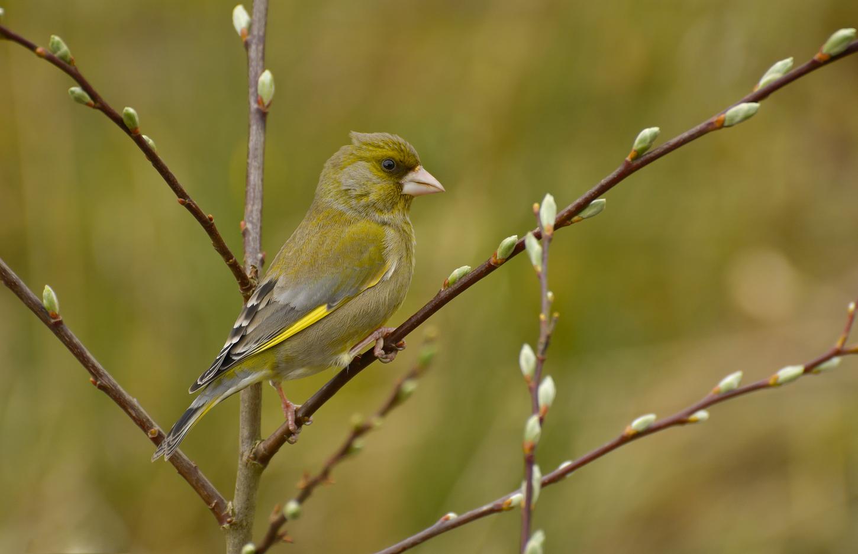 Green Finch Male