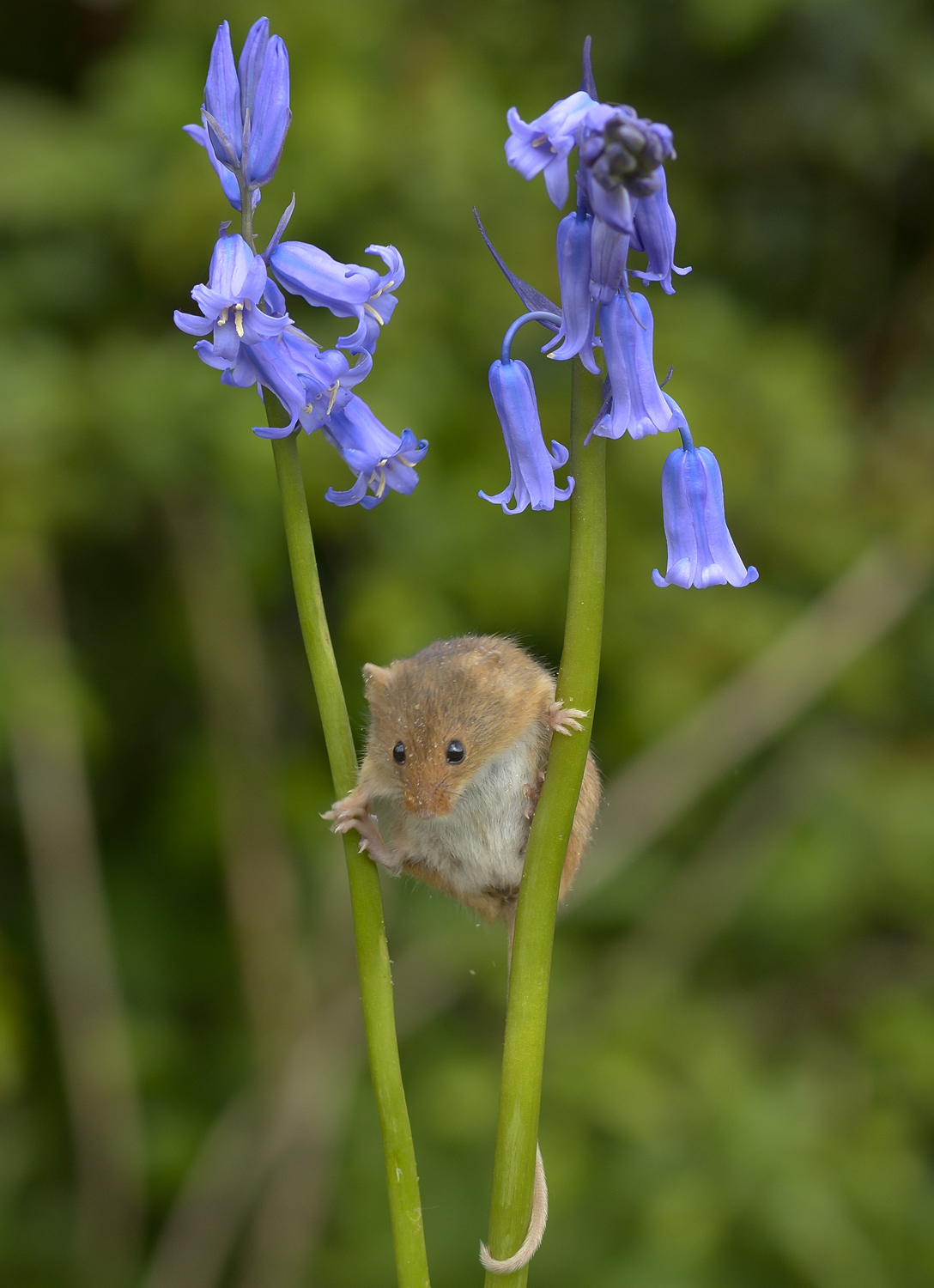 Harvest Mouse on Bluebell