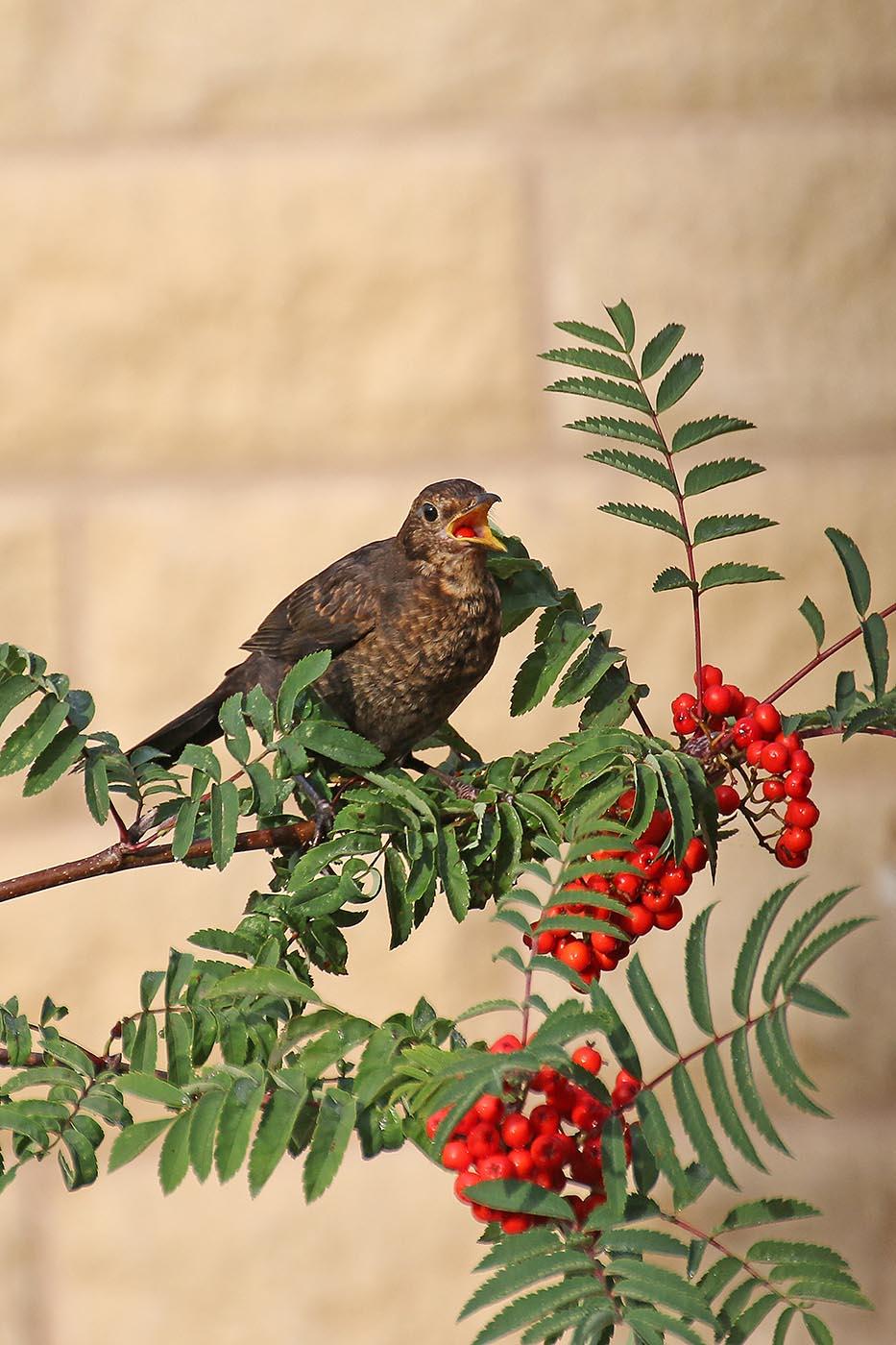 Female blackbird feeding on berries