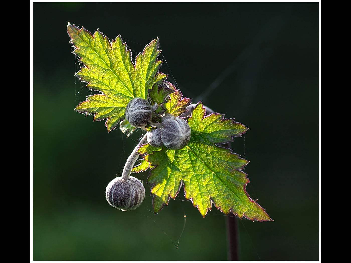 Japanese Anemone Leaf & Buds