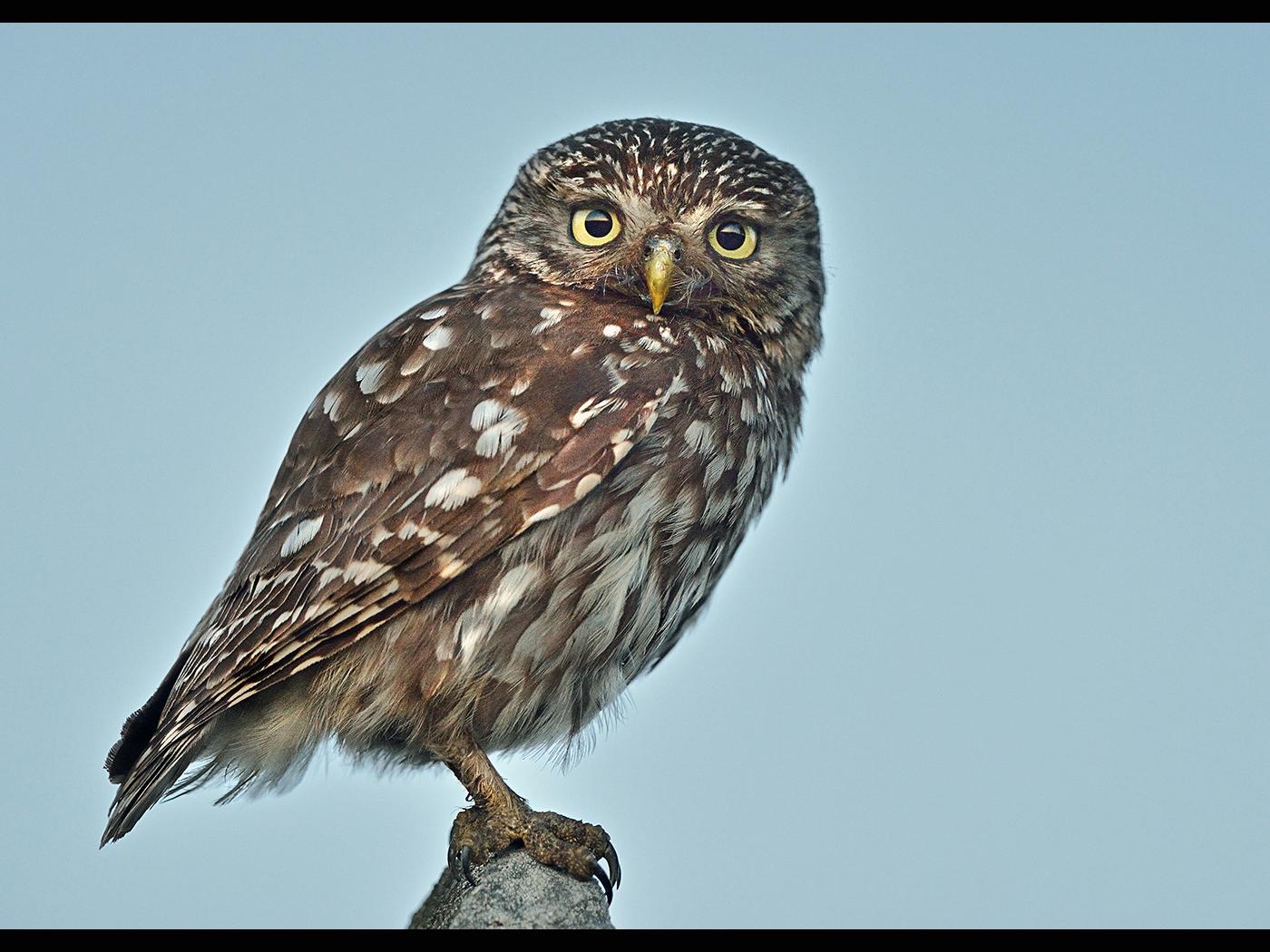 Little Owl ( Wild )