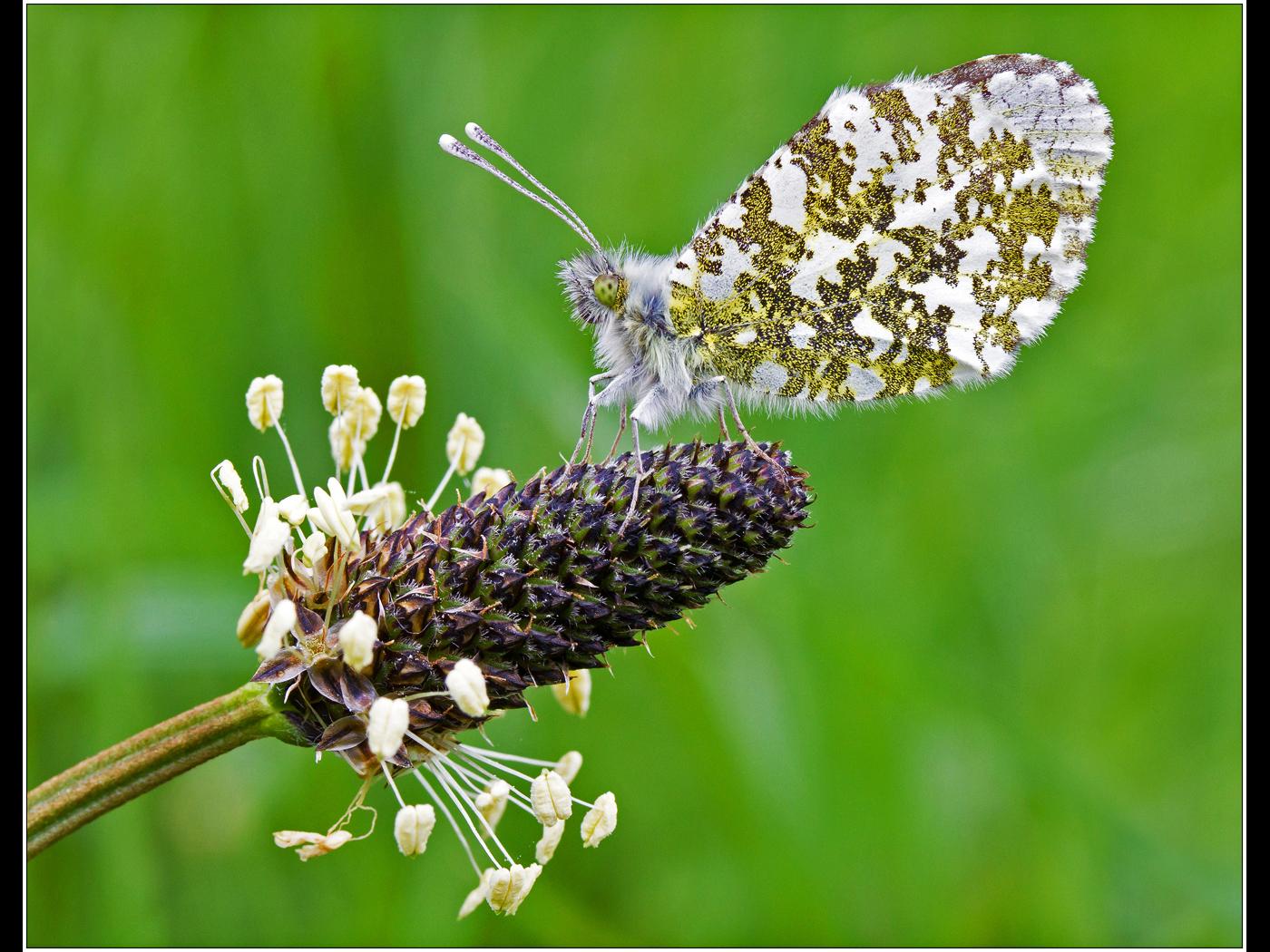 Orange Tip Butterfly on Ribwort Plantain