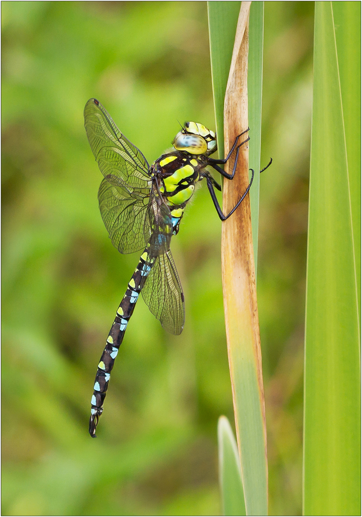 Southern Hawker Dragonfly at Rest