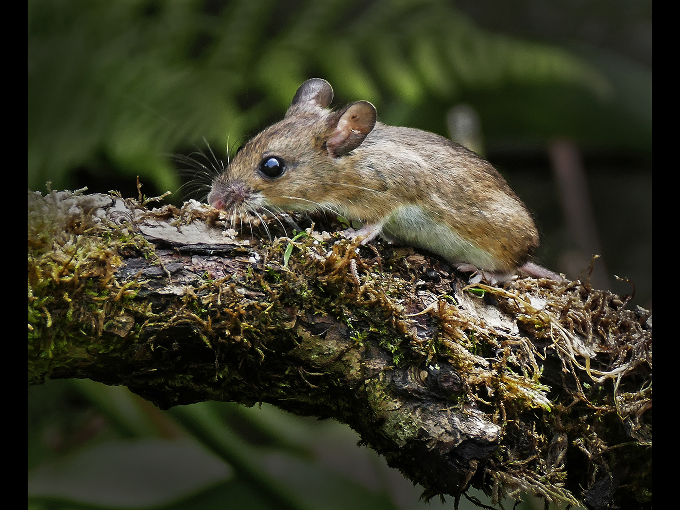 Wild Wood Mouse