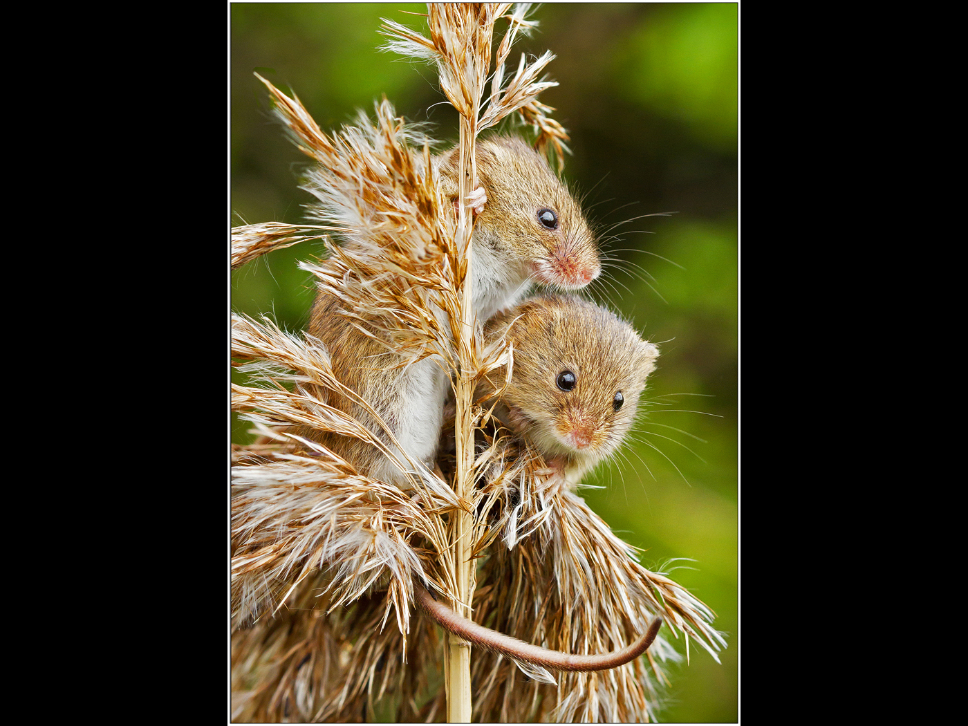 Young Harvest Mice