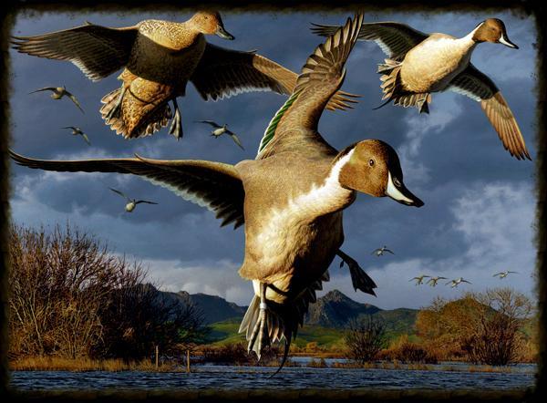 Texas Duck Hunting
