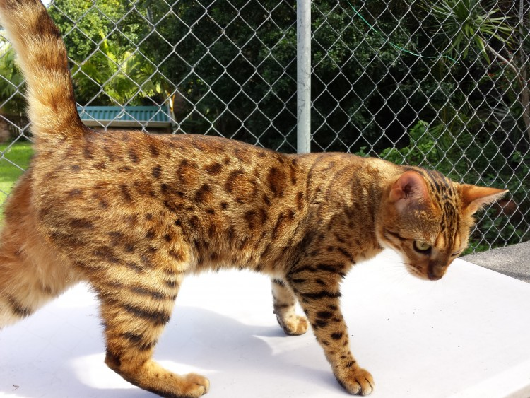 Kinglake Xanthe - Adult bengal cat available