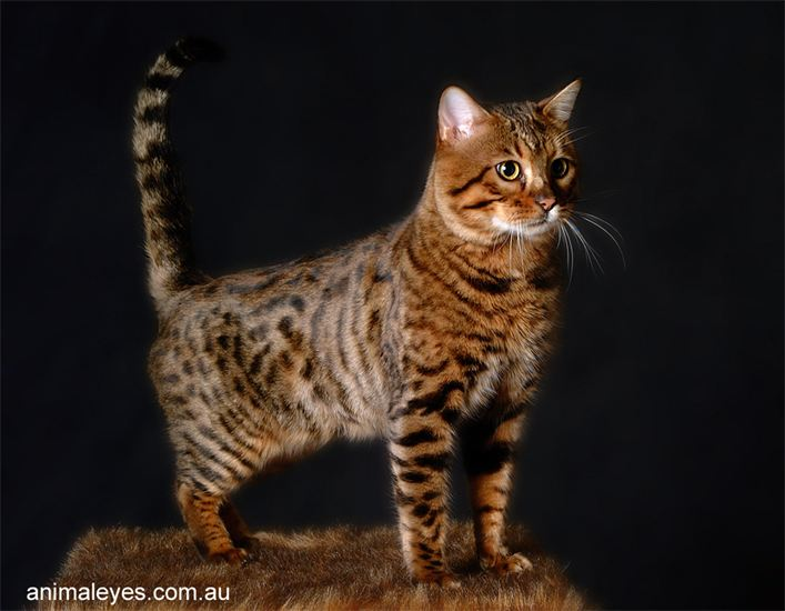 Wildkatt Orpheus