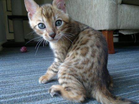 Greta Eclipse male kitten