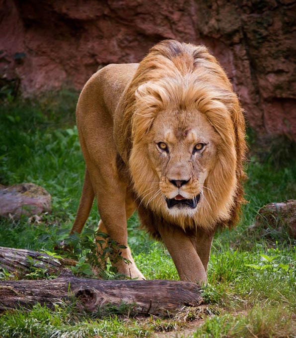 lion-2.jpg